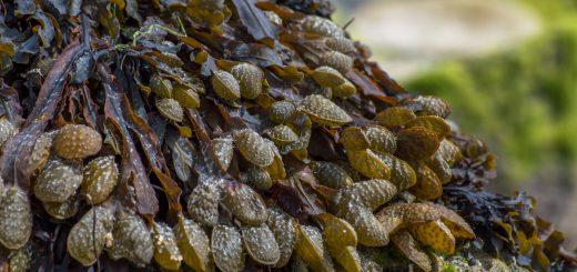 Maigrir avec l'ascophyllum